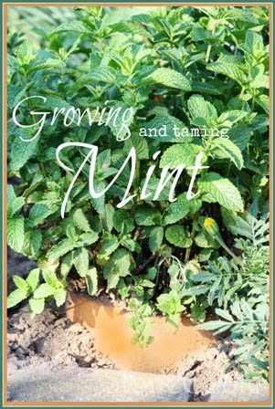 Growing And Taming Mint