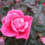 Pink Saturday- A Knock Out Of A Rose!
