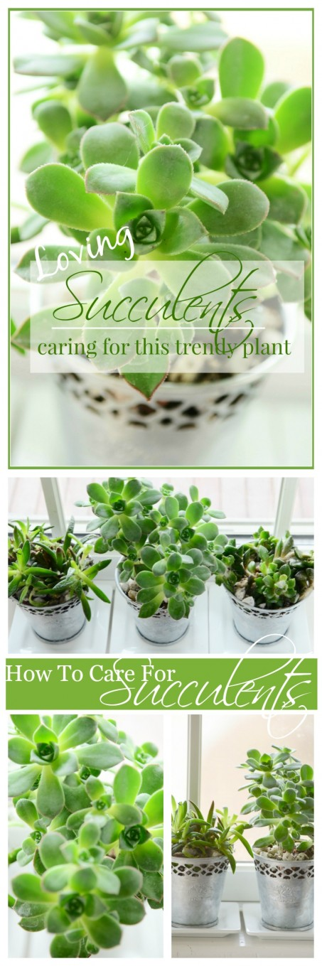 LOVING SUCCULENTS-Caring for this trendy plant-stonegableblog.com