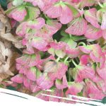 saturated pink drying hydrangeas
