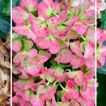 saturated pink hydrangeas on a bush