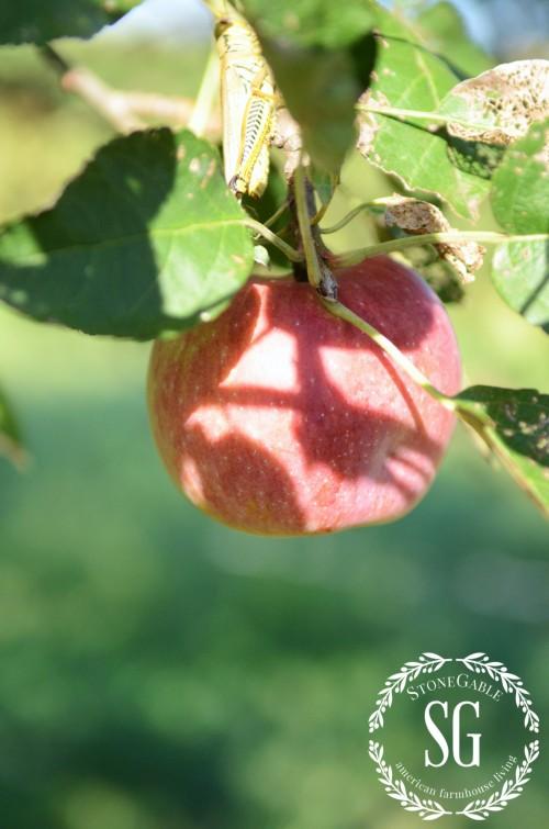 PUFF PASTRY APPLE ROSETTES-apple from tree-stonegableblog.com
