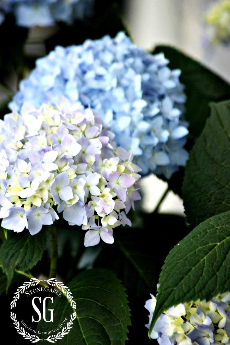 PLANTING HYDRANGEAS IN POT AND URNS-hydrangeas-blooms-stonegableblog.com