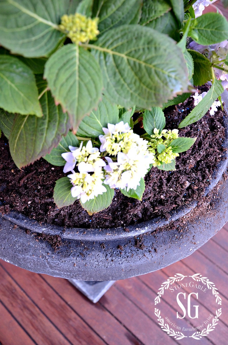 PLANTING HYDRANGEAS IN POT AND URNS-newly planted-hydrangeas-urns-stonegableblog.com