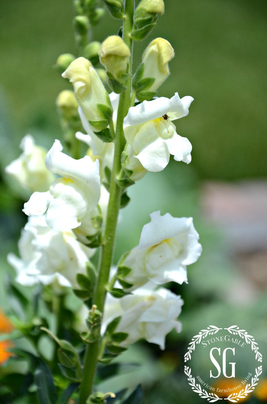 5 IMPORTANT THINGS TO KNOW WHEN GARDENING-snapdragons-stonegableblog.com