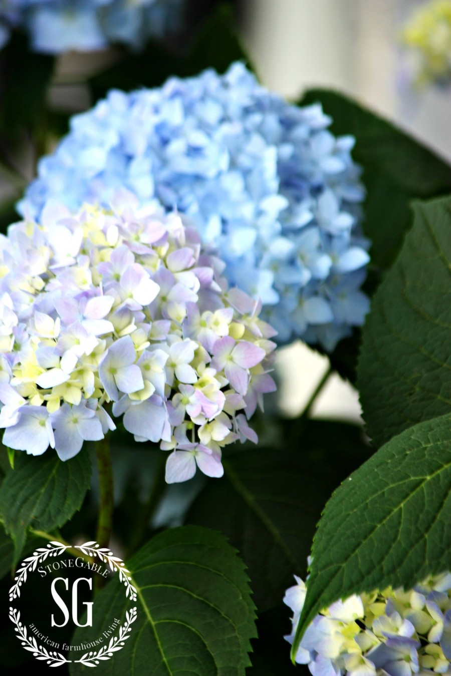 HOW TO KEEP CUT HYDRANGEAS FROM WILTING-blue hydrangeas-stonegableblog.com