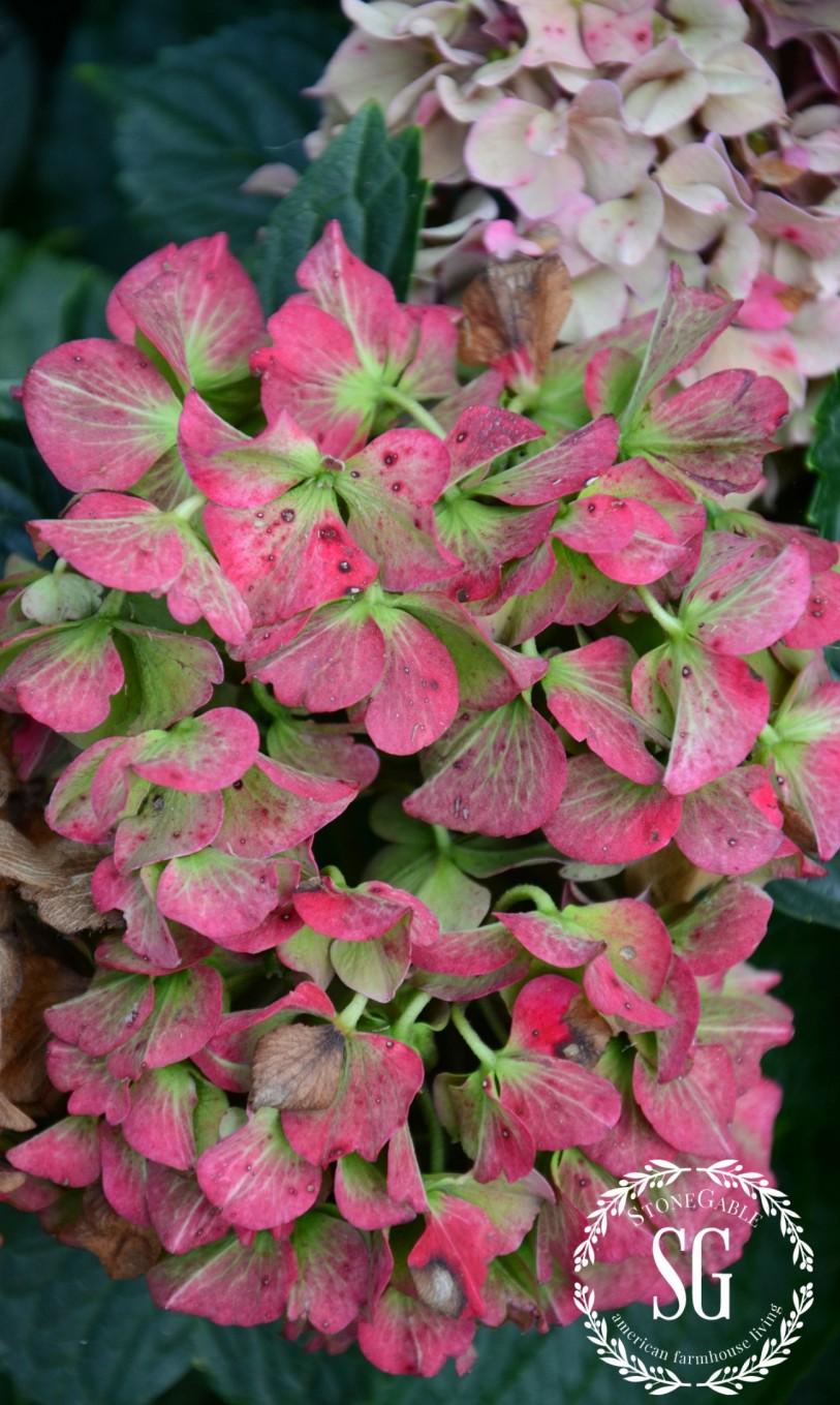 HOW TO KEEP CUT HYDRANGEAS FROM WILTING-end of season hydrangeas-stonegableblog.com