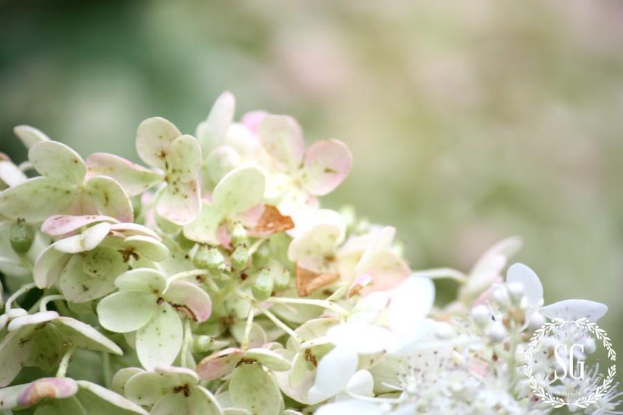 HOW TO KEEP CUT HYDRANGEAS FROM WILTING- white hydrangeas-stonegableblog.com