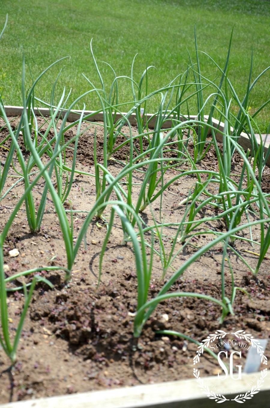VEGETABLE GARDEN-onions-stonegableblog.com