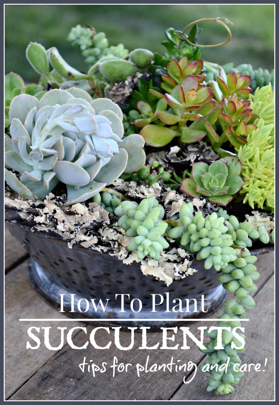 HOW TO PLANT SUCCULENTS- Easy planting tips for keeping succulents healthy-stonegableblog.com