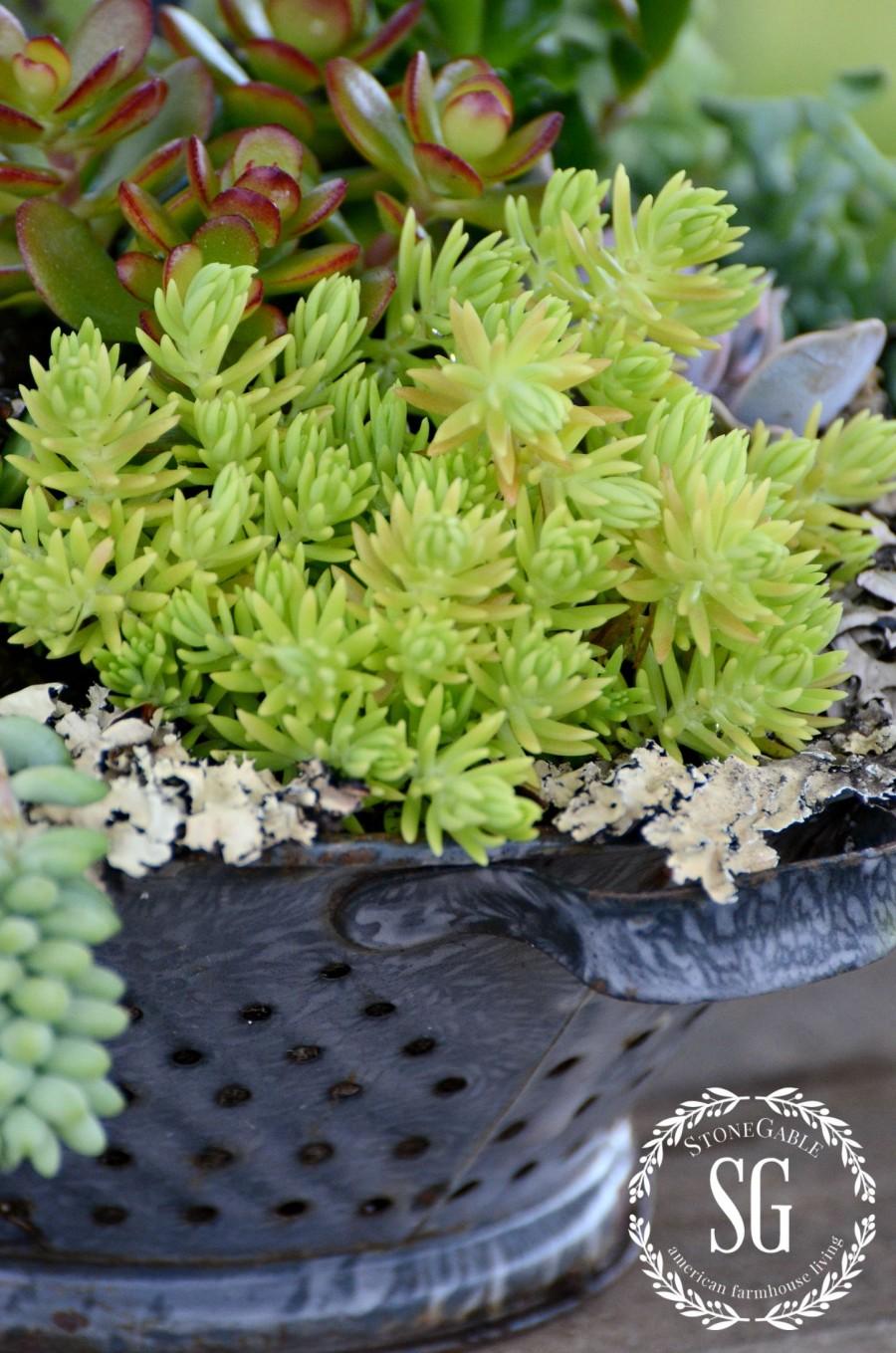HOW TO PLANT SUCCULENTS-planting succulents-vintage colander-stonegableblog.com