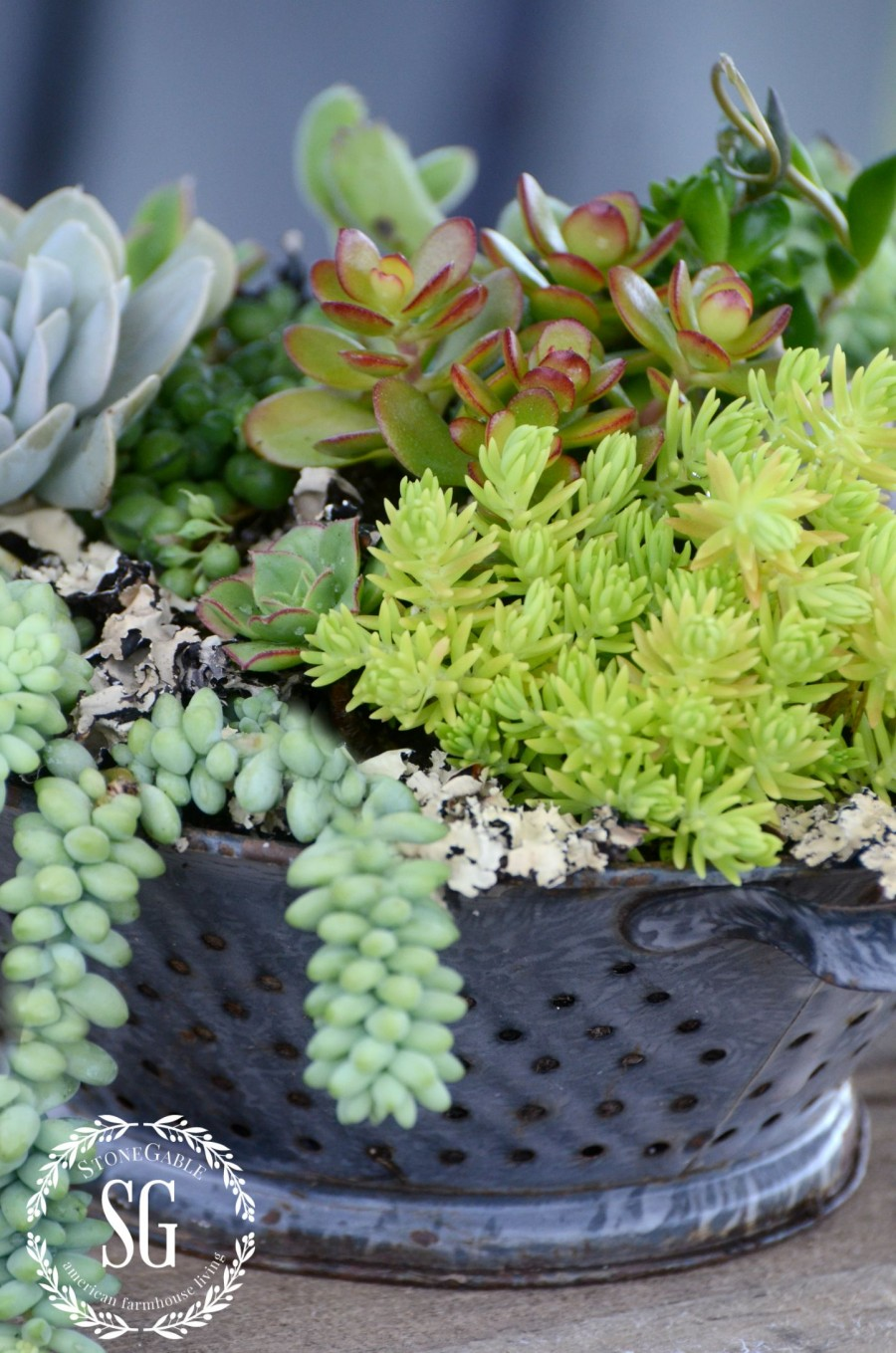 HOW TO PLANT SUCCULENTS-succulents planted in collander-outdoors-stonegableblog.com