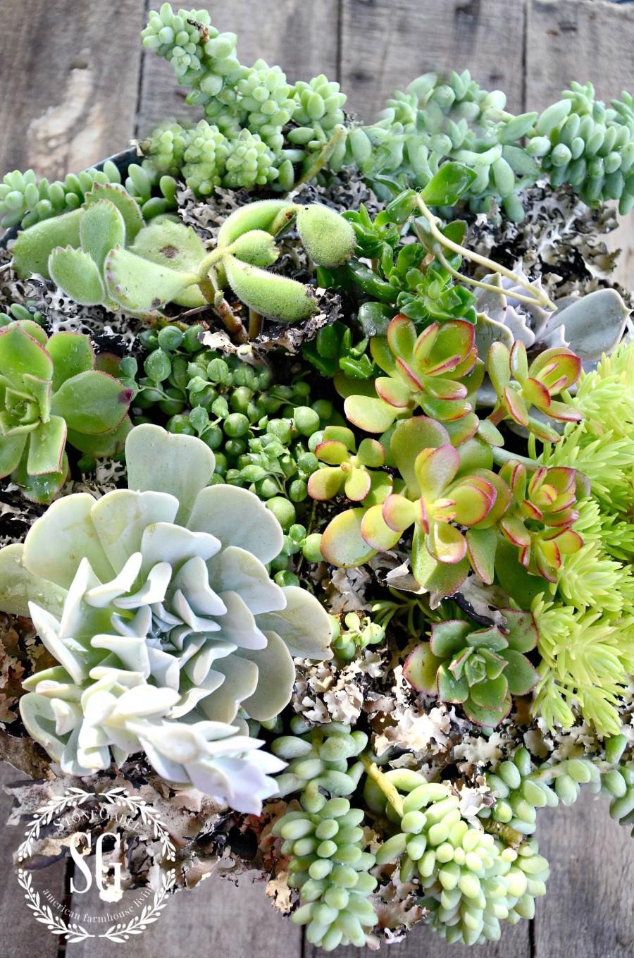 HOW TO PLANT SUCCULENTS-succulents planted in collander-stonegableblog.com