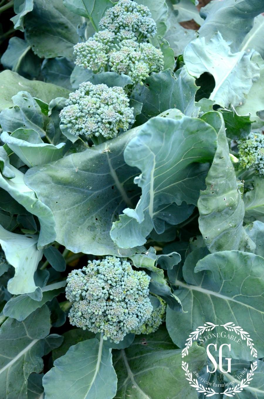 JULY IN THE VEGETABLE GARDEN-broccoli-stonegableblog.com