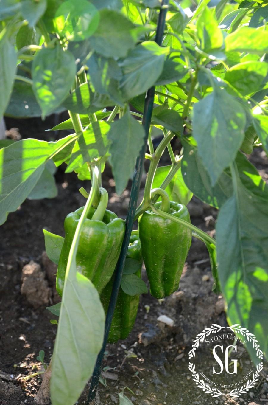 JULY IN THE VEGETABLE GARDEN-peppers-stonegableblog.com