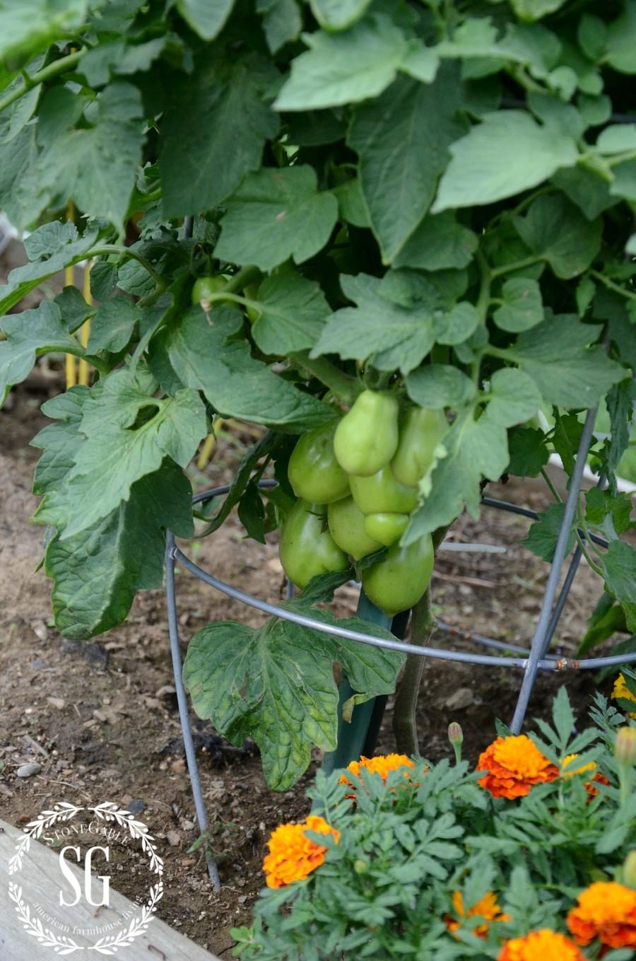 JULY IN THE VEGETABLE GARDEN-tomatoes-stonegableblog.com