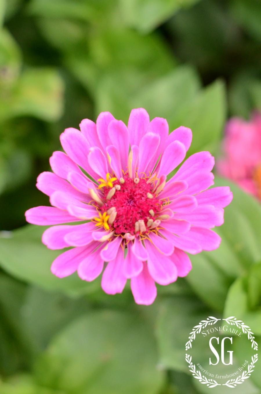 JULY IN THE VEGETABLE GARDEN-zinnias-stonegableblog.com