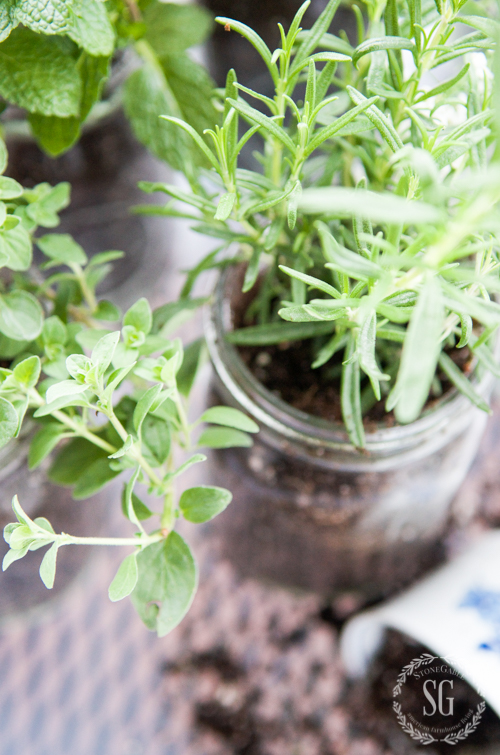 CREATING A MASON JAR HERB GARDEN-A 10 minute project that will last until fall!