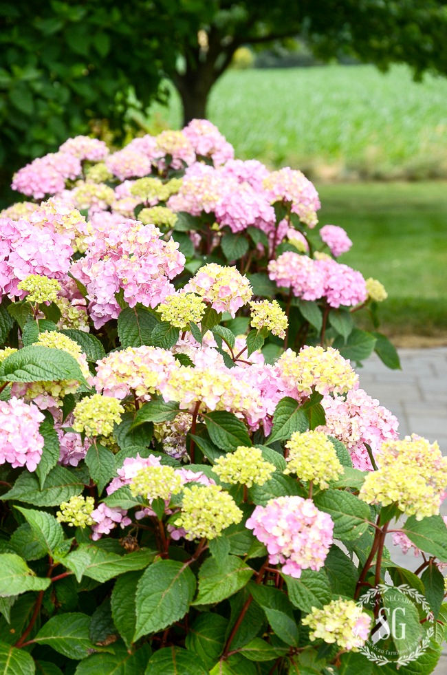 HYDRANGEAS IN PLANTERS AND A SELF WATERING HACK- Here's a great way to water you plants in post and containers when you are not around!