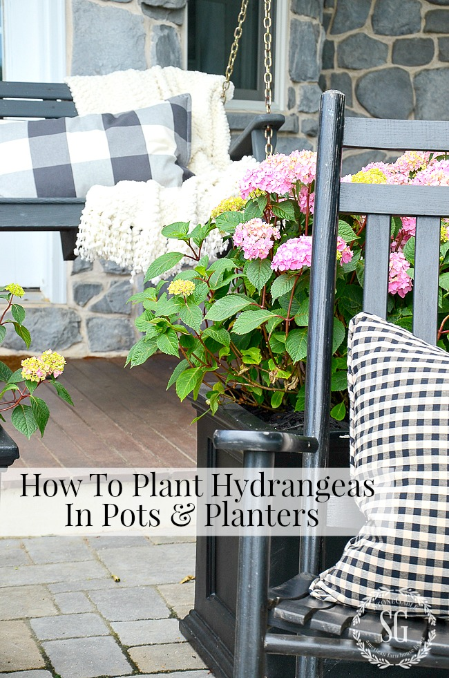 Planting HYDRANGEAS in pots and planters is easier than you think. With just a little care they will give you a summer of showy blooms. #hydrangeas, #blooms, #containergarden, #summer, #porch, #patio
