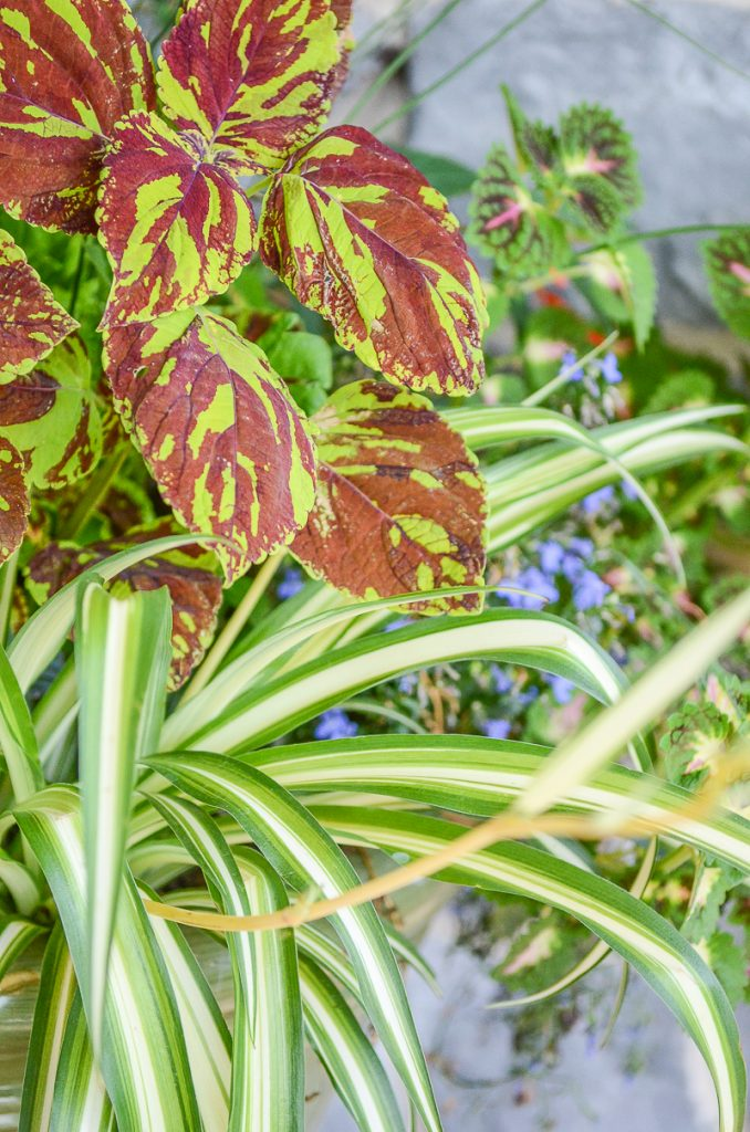 variegated purple and green coleus in container garden on the porch