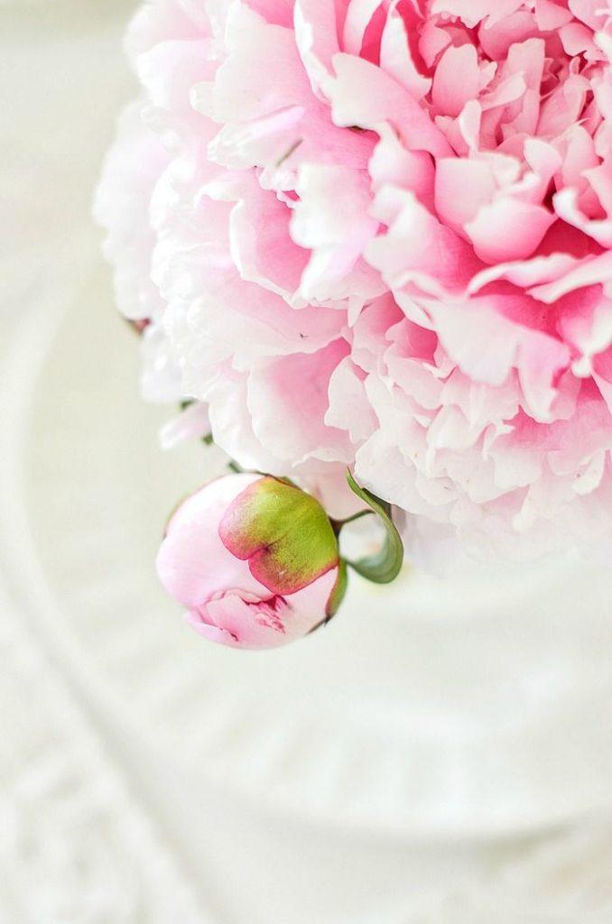 close-up of a large pink peony
