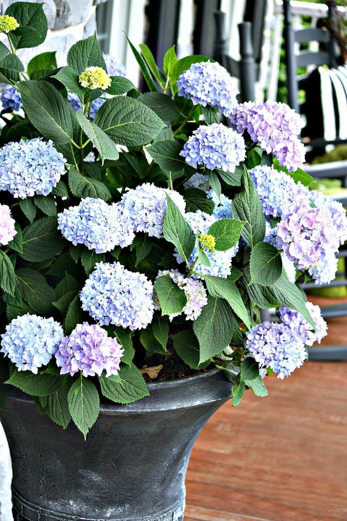 lots of hydrangea blooms in an urn on the front porch