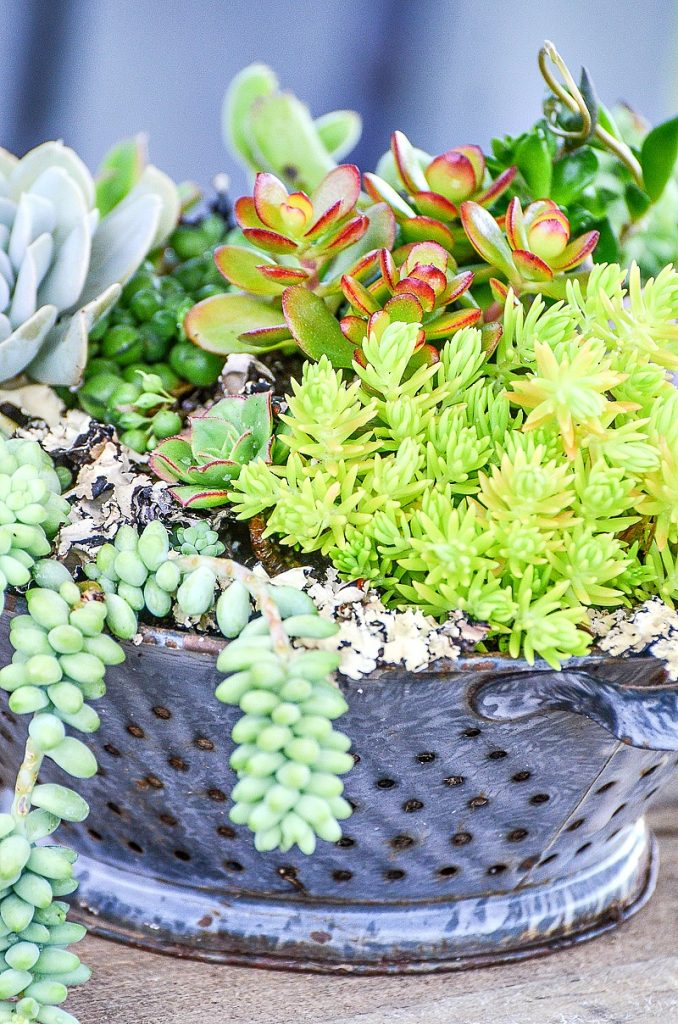 succulent garden in old colander used as a container garden