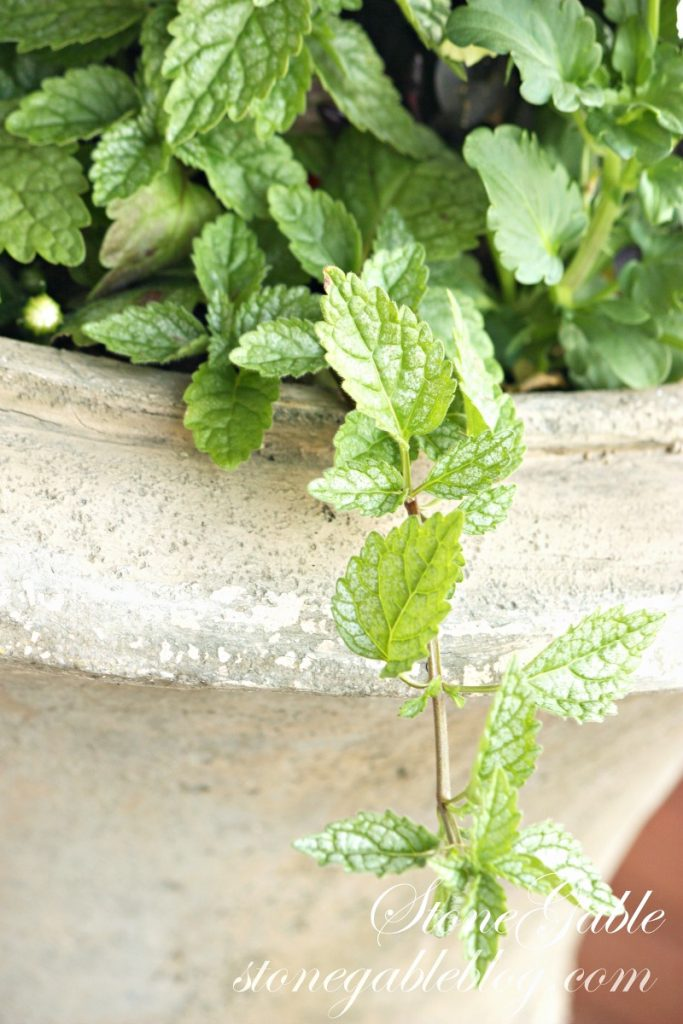 mint in an urn