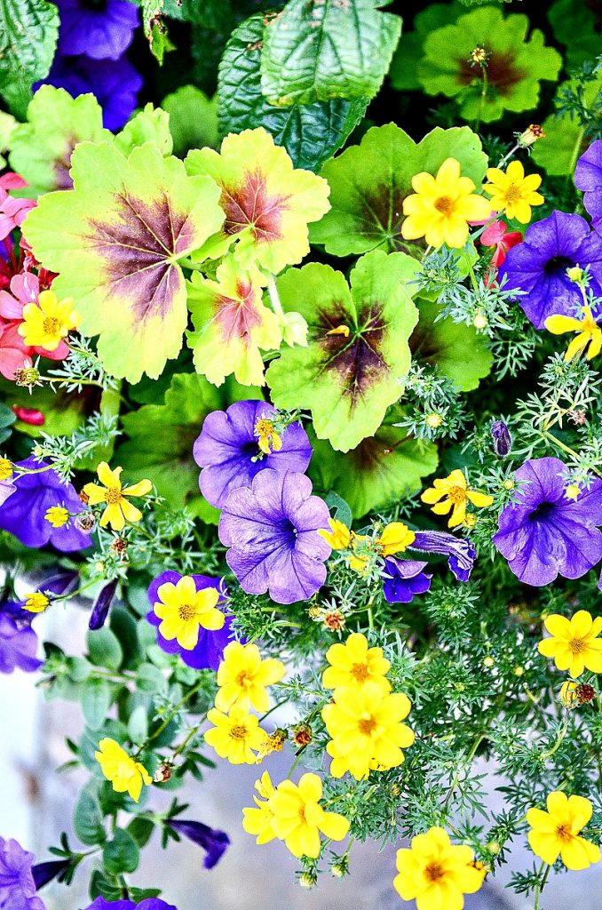 brightly colored annuals