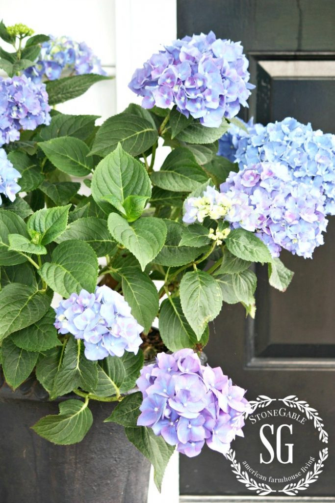 blue hydrangeas in a pot