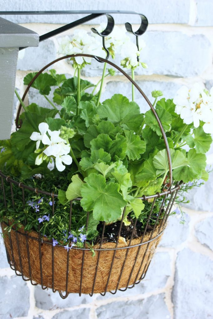 geraniums in a hanging basket