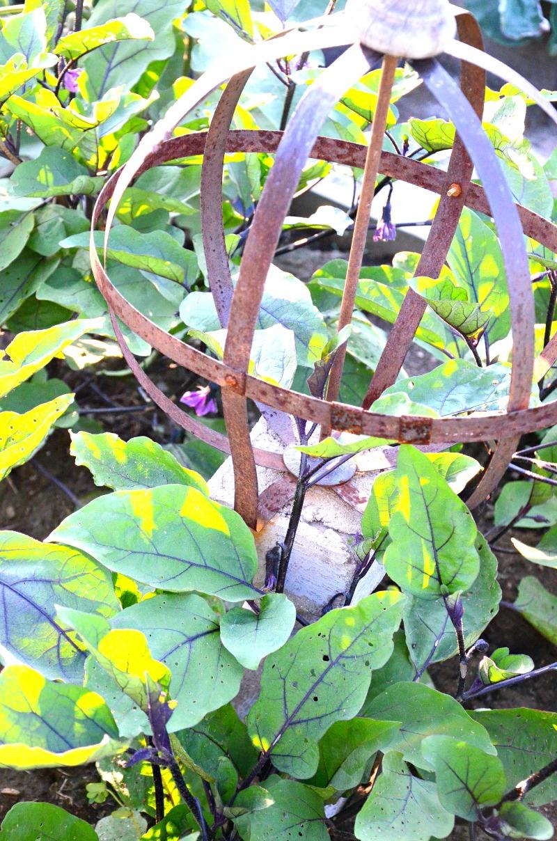 eggplant growing in a garden