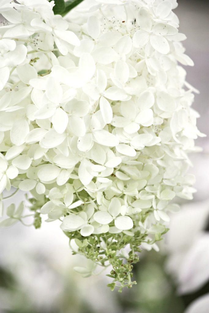 white cut hydrangeas