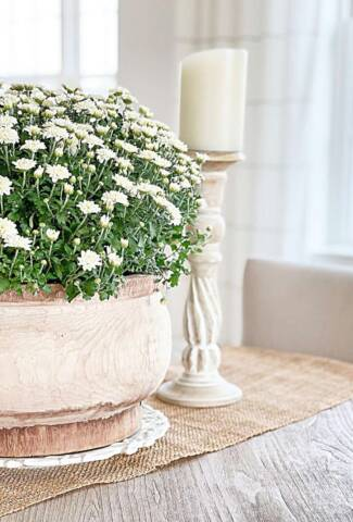 WHITE MUMS IN WOODEN POT