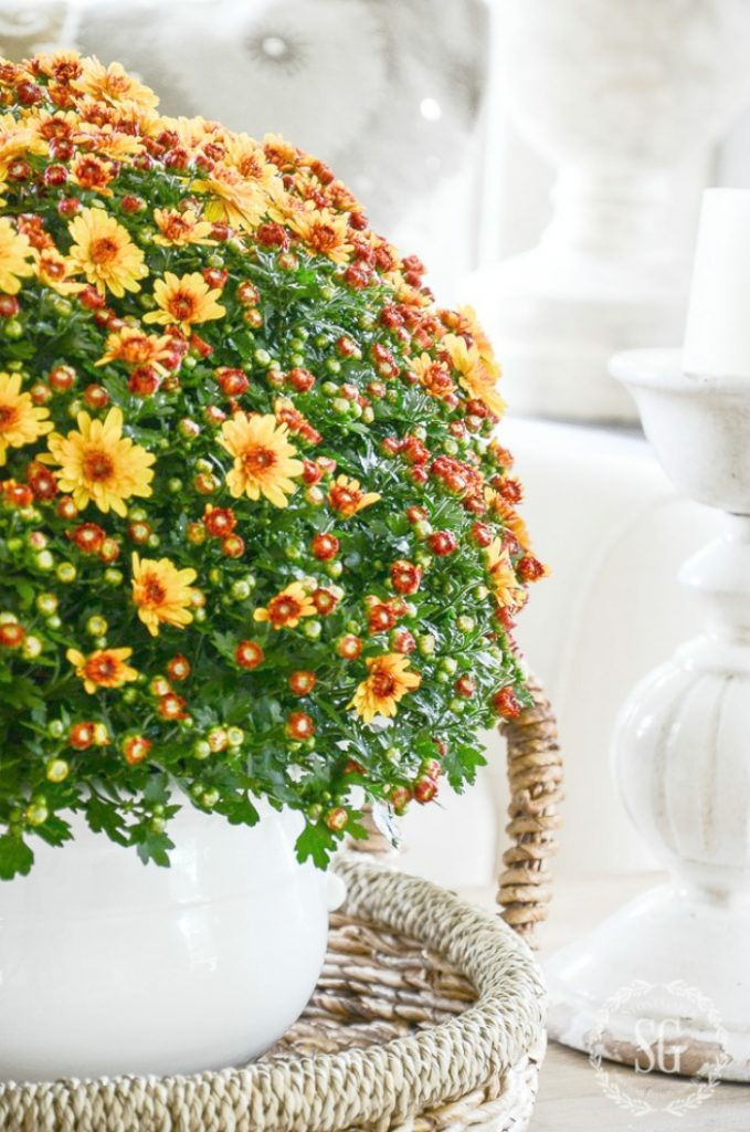 ORGANGE MUMS IN A WHITE POT