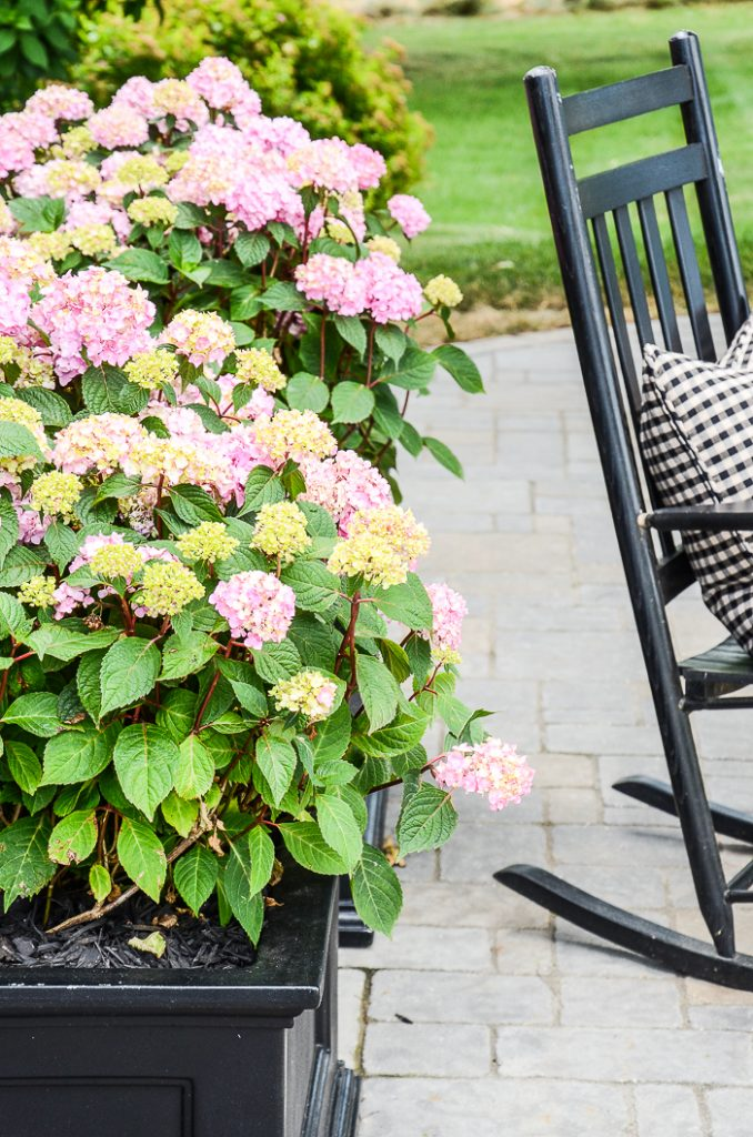 PRETTY PINK HYDRANGEAS GROWING IN A BLACK PLANTER