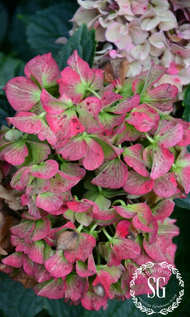 PRETTY SATURATED PINK HYDRANGEAS