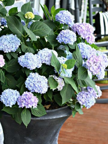 PLANTING HYDRANGEAS IN POTS, URNS, AND PLANTERS
