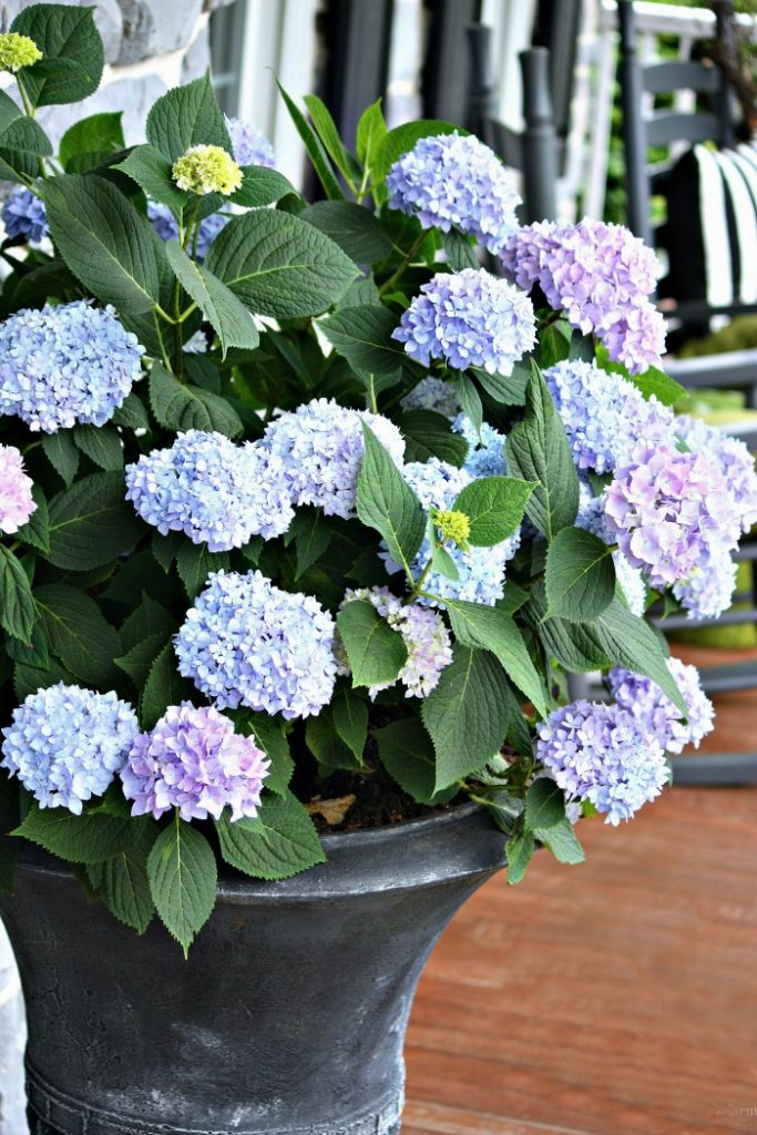 hydrangeas in a black urn