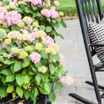 pink hydrangeas planted in a black planter on a patio