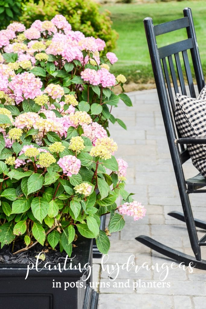 pretty pink hydrangeas planted in a black planter