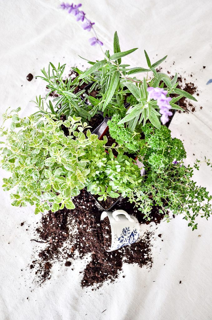 HERBS OUT OF THEIR POTS AND DIRT