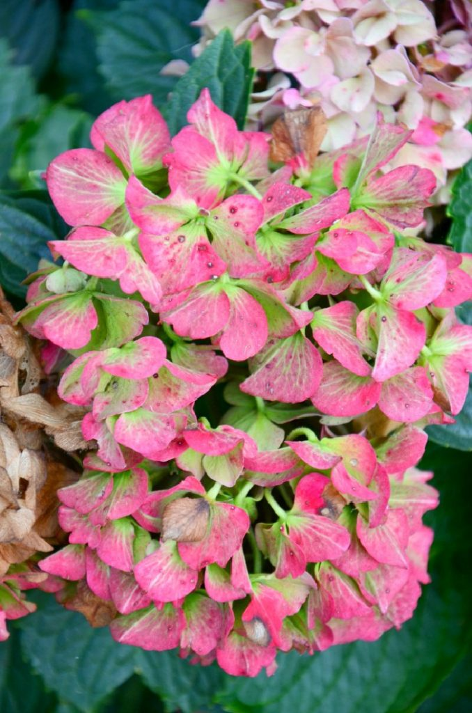 GORGEOUS SATURATED COLOR ON A DRYING HYDRANGEA