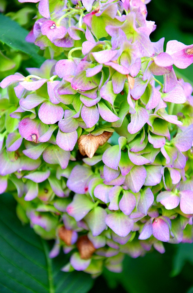 GORGEOUS PURPLE AND GREEN HYDRANGEAS DRYING ON A BUSH