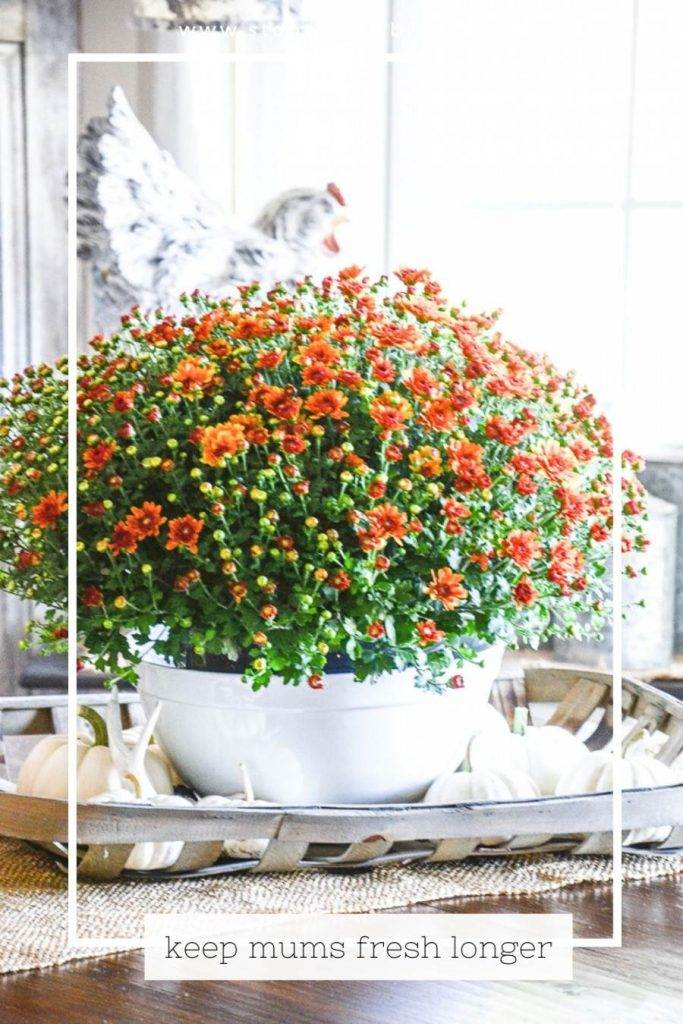 Mums on a dining room table
