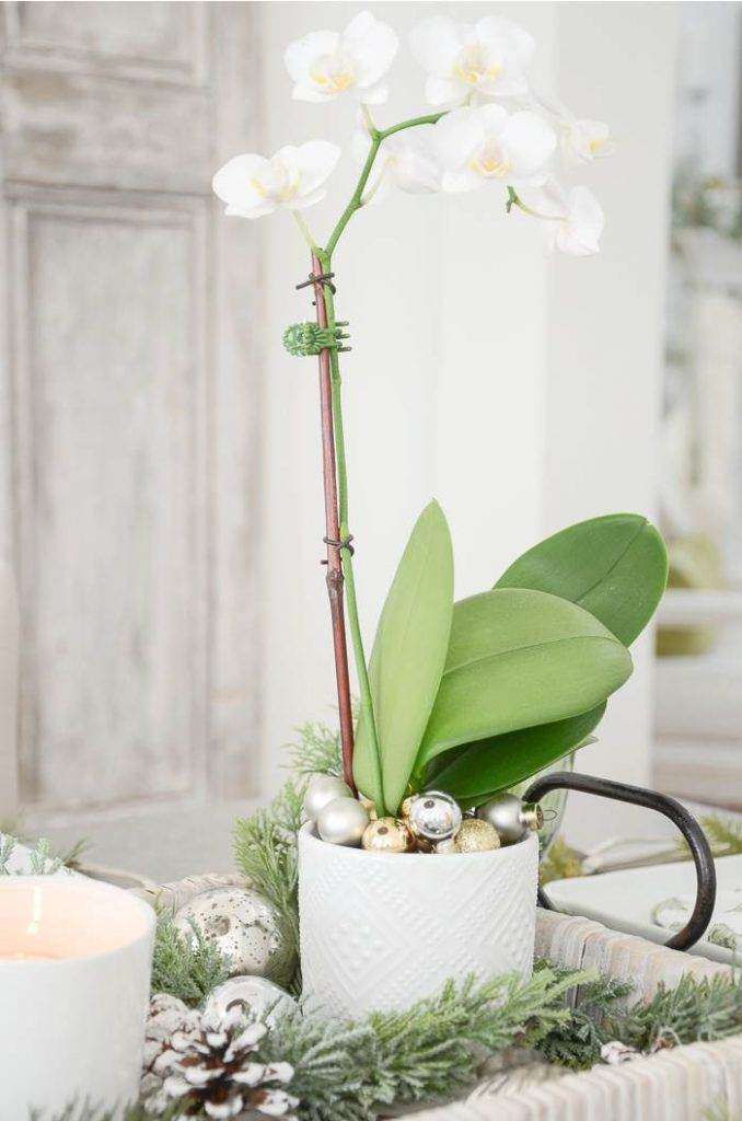 AN ORCHID ON A CHRISTMAS TABLE