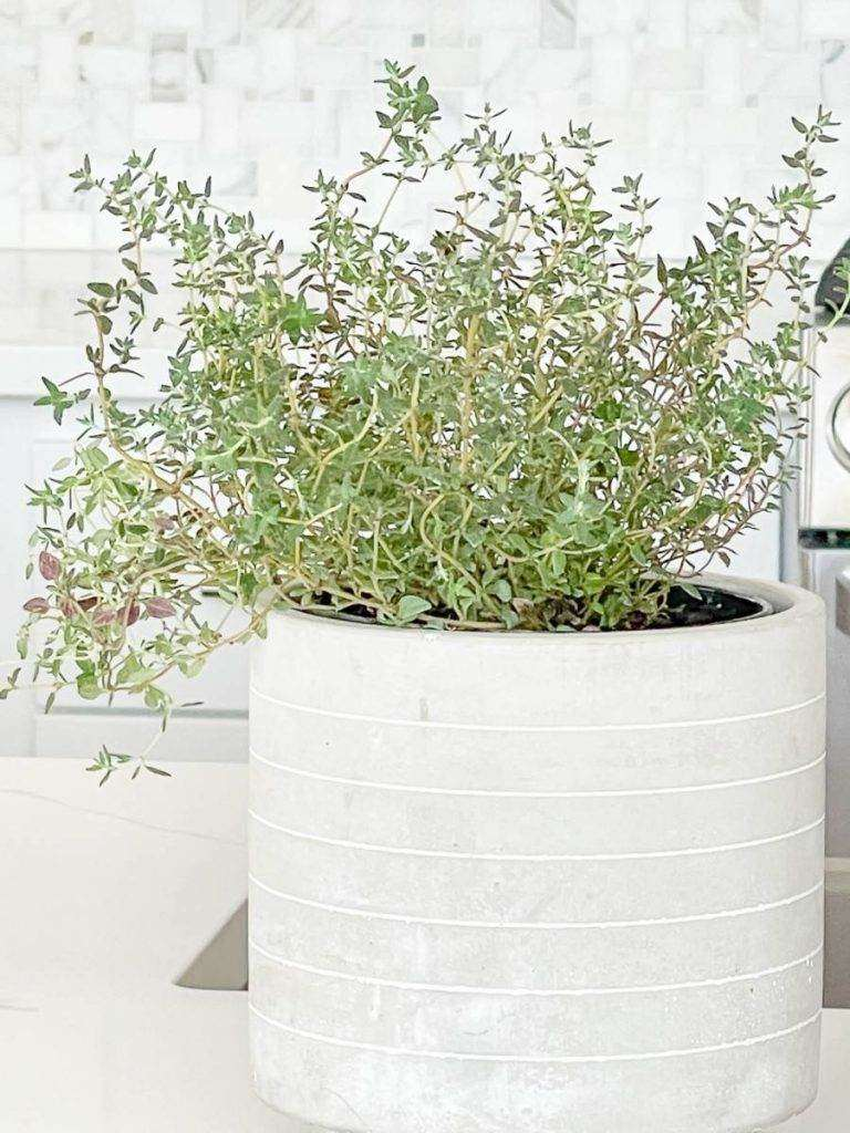 A GRAY POT OF THYME