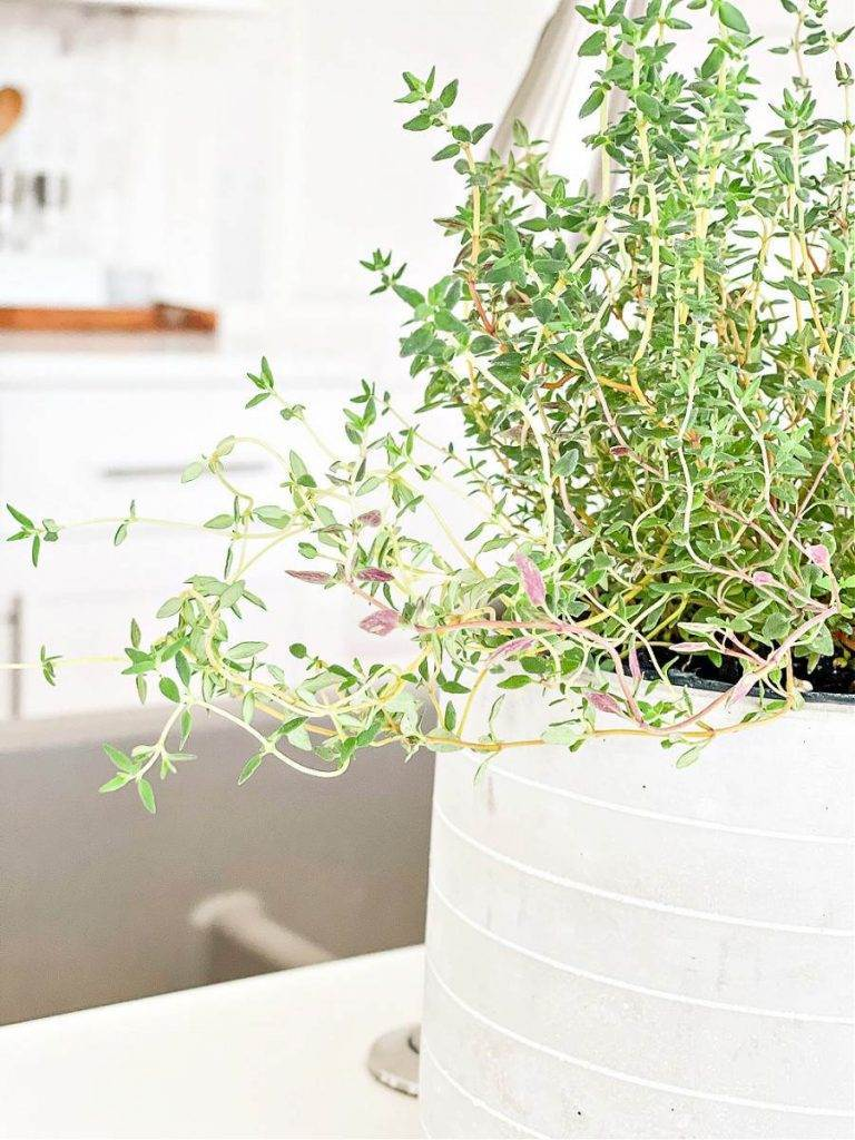 THYME IN A PRETTY GRAY AND WHITE POT