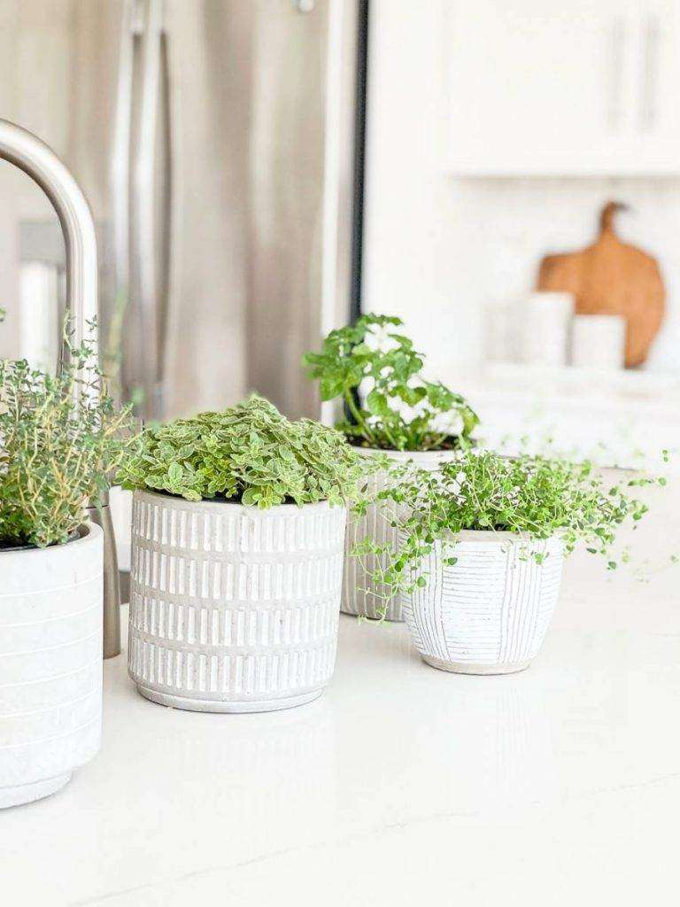 GROUP OF HERBS IN POTS